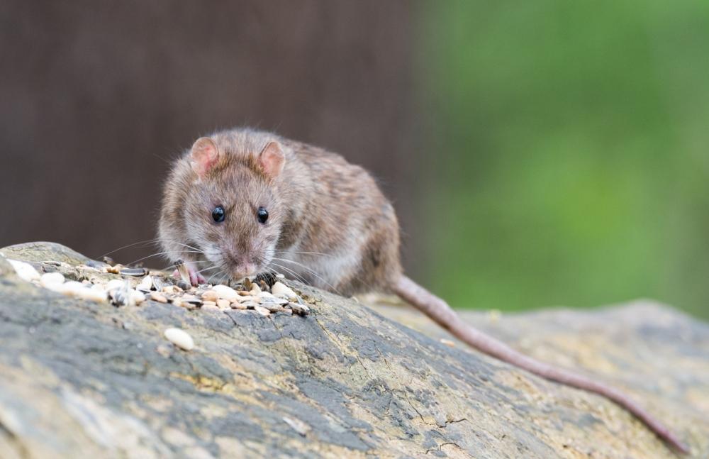 Rat Removal