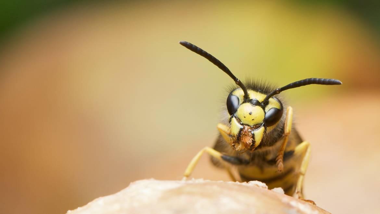 Identify a wasp