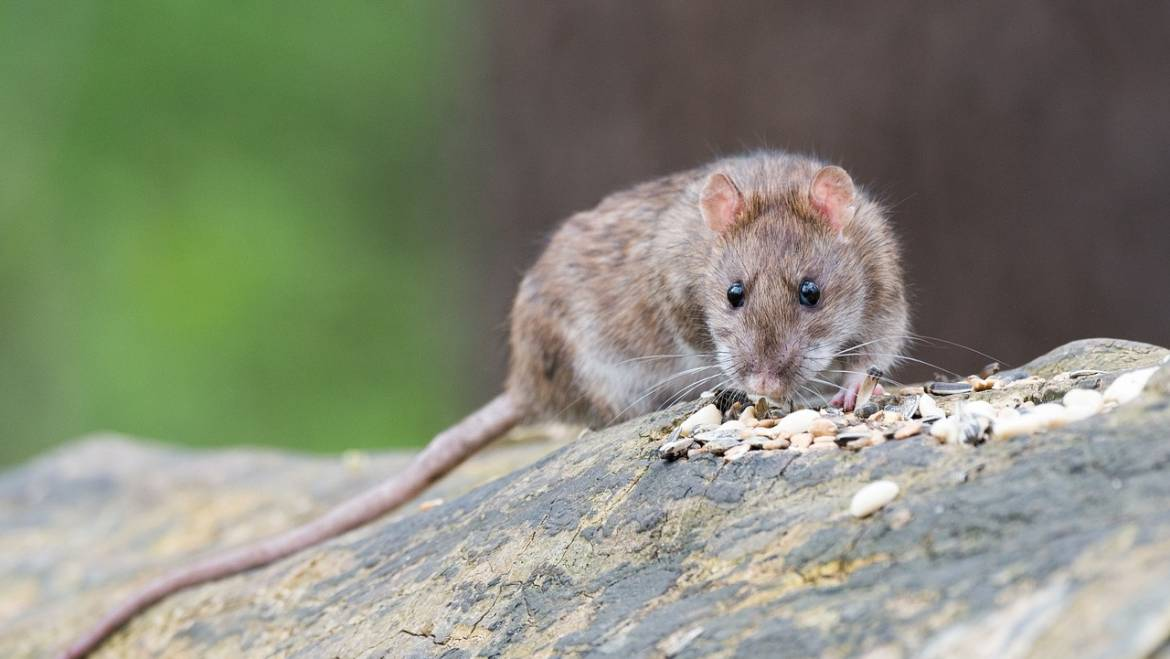 Why rats are such a problem.