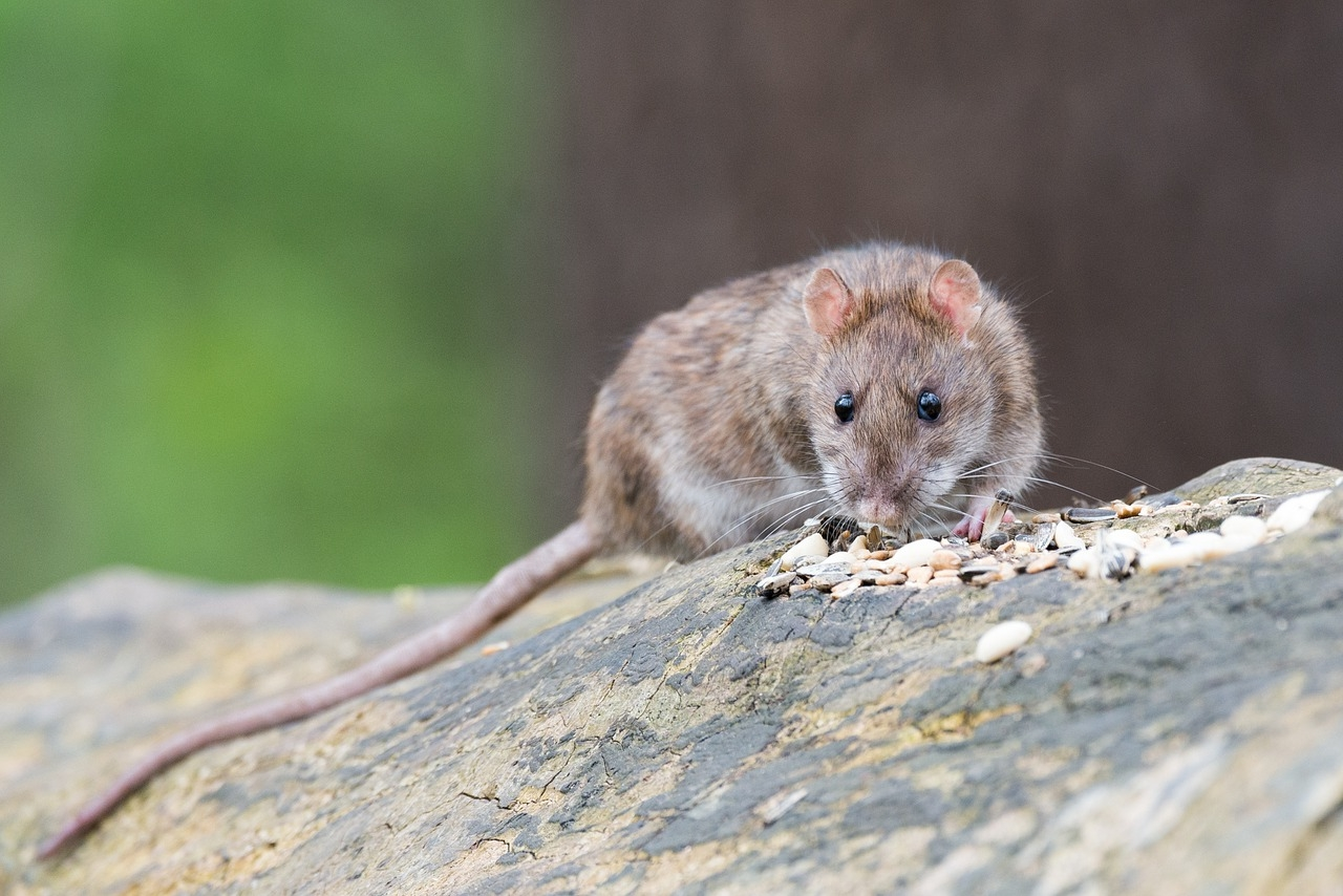 Rat removal Experts Northern Ireland