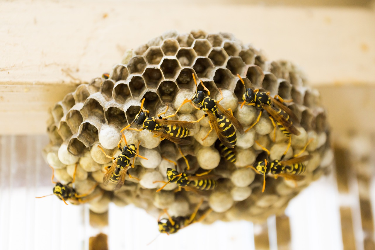 Removal of Wasp nests Northern Ireland